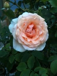Apricot rose 1