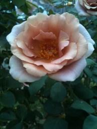 Mauve rose 1