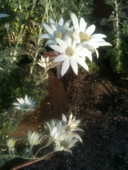 Flannel Flowers I