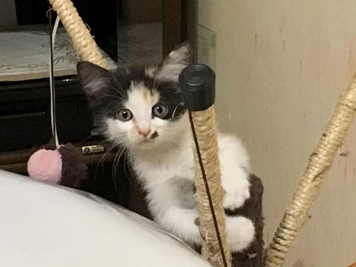 chaton tricolore adoption paris
