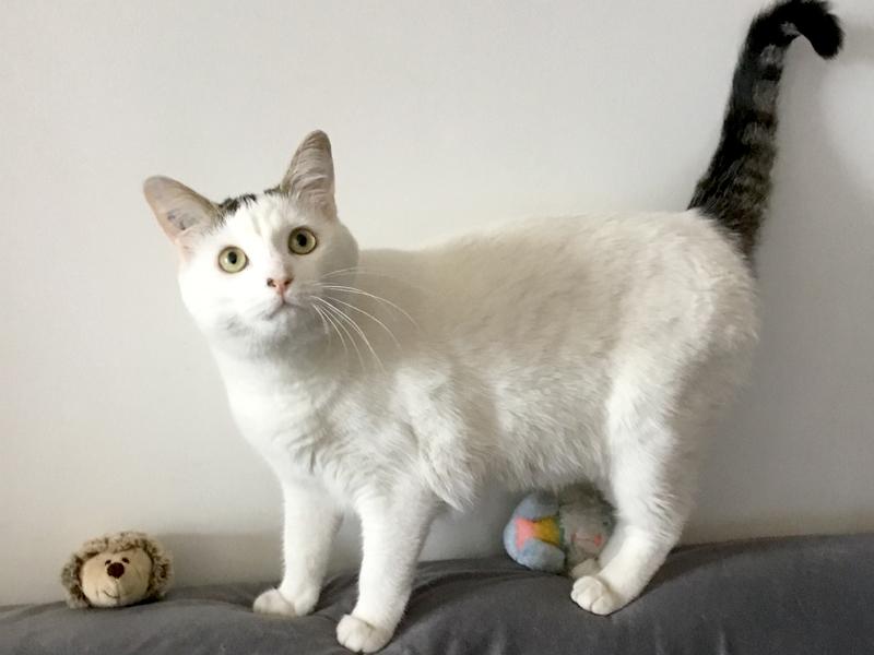 oups-chat-adoption-femelle-tigree-blanc