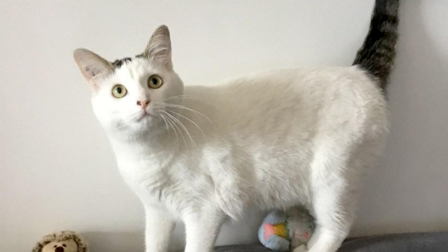 OUPS Chat Femelle Blanche et Tigrée à l'adoption