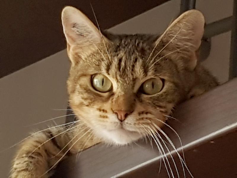 ALISSA-chat-FIV-adoption-paris