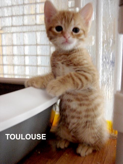 chaton roux  tigré à l'adoption paris