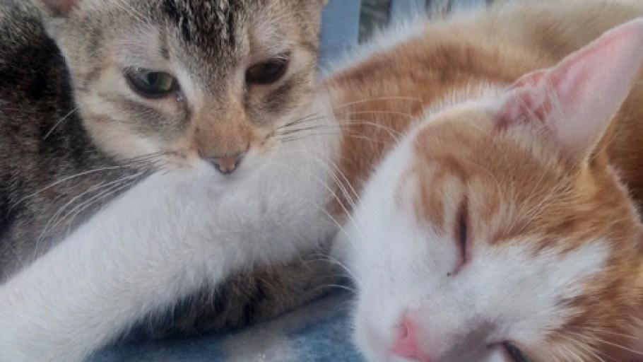 CESAR et PLUME adorables chatons à l'adoption paris