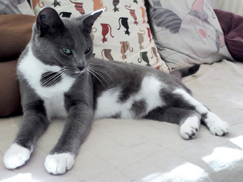 ABBY-chat-femelle-gris-blanc-adoption-paris