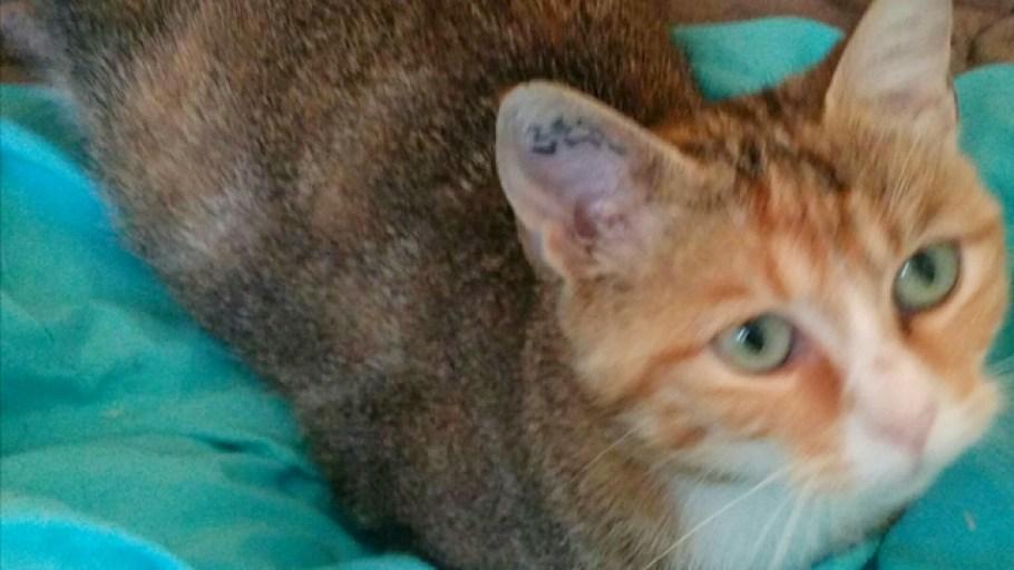 JULIETTE Chat Femelle tricolore à l'adoption