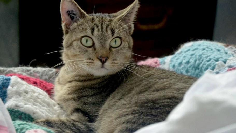 DOUCE chat Femelle Tigrée adulte à adopter Paris et Ile de France