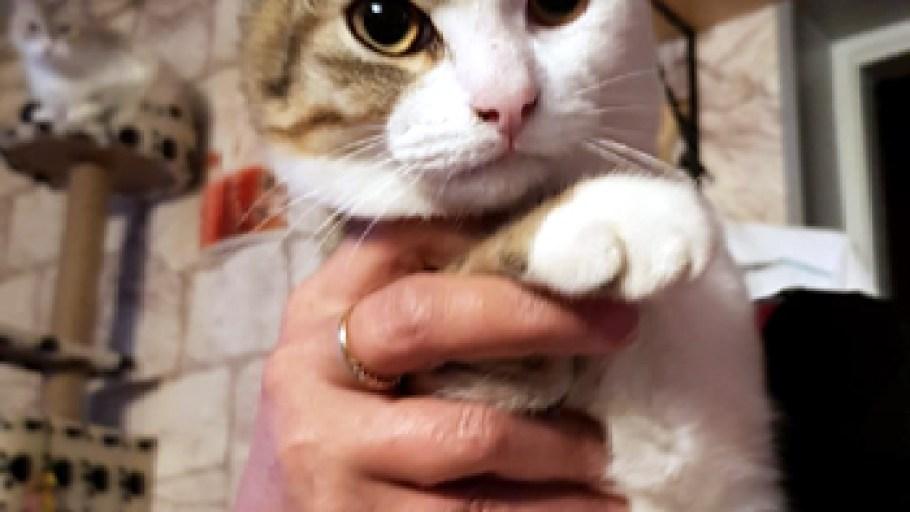 BEBE SIMBAD chaton tigré blanc 4 mois à adopter Paris
