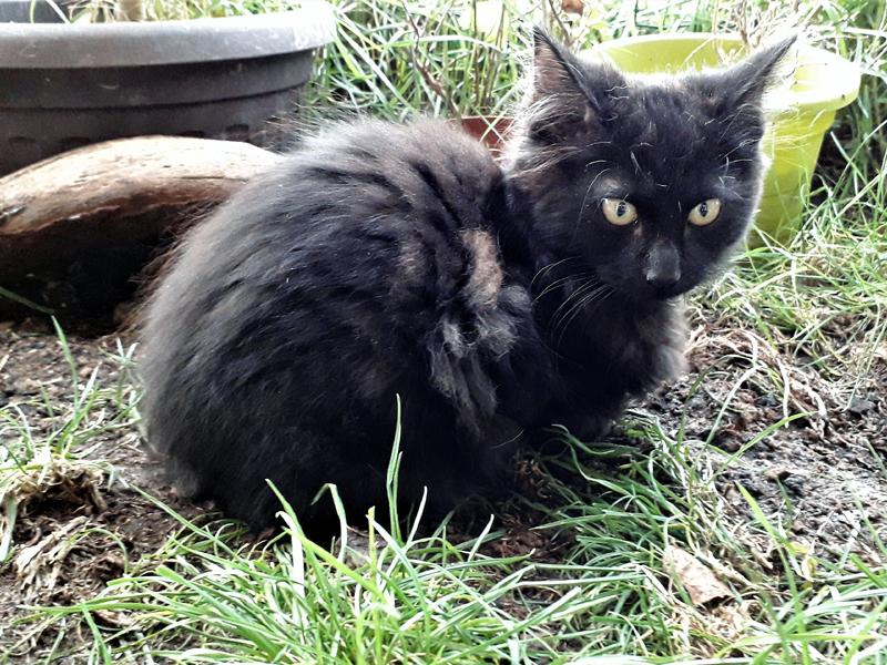 PABLO-chaton-noir-poil-long-adoption-paris