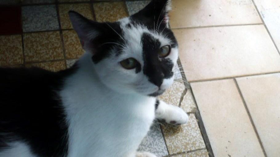 Adoption SOS – SIMBAD chat Mâle Noir et Blanc – 8 mois
