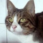 Clochette chat 1 an tigrée blanc cherche famille d'adoption