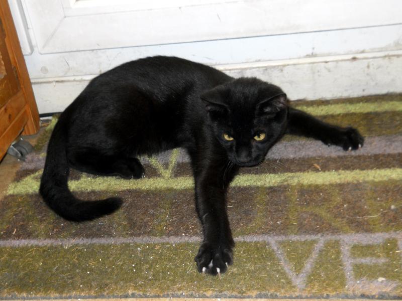 PEPPER-chaton-noir-05