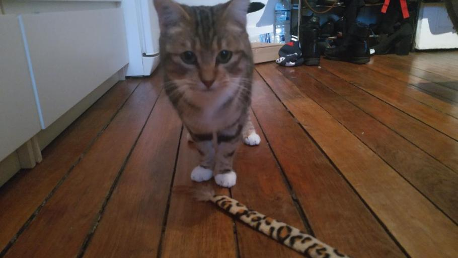 PLUME chat Femelle Tigrée Blanc 2 ans à adopter Paris et IDF