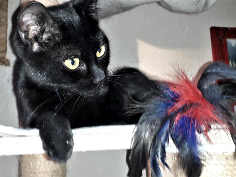 PURDEY-jeune-chat-noire-adoption-paris