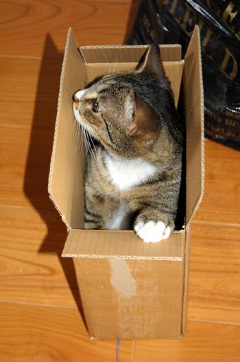Chaton carton