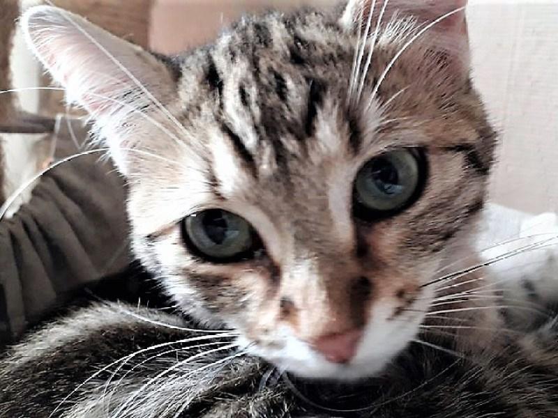 POMPON chat mâle Tigré Gris 7 Mois à adopter Paris