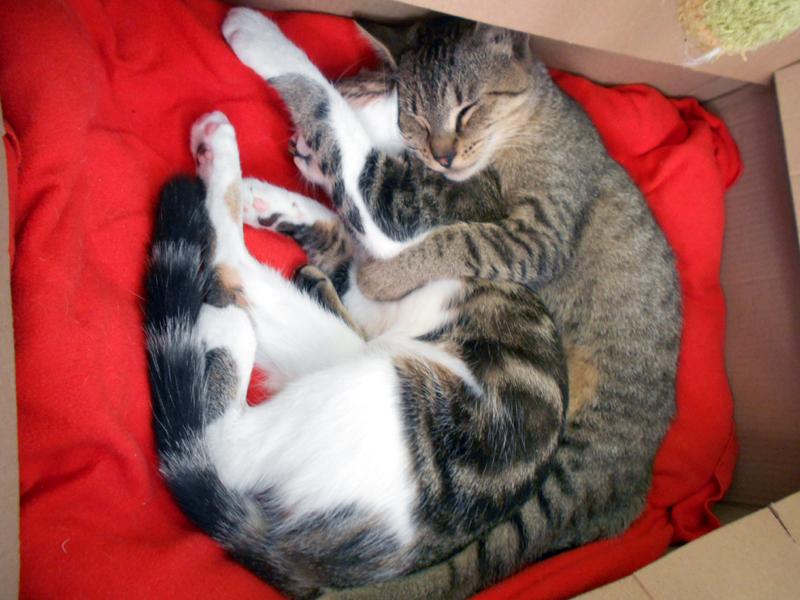 SALEM & DANIS adorables jeunes chatons tigrées à adopter en duo