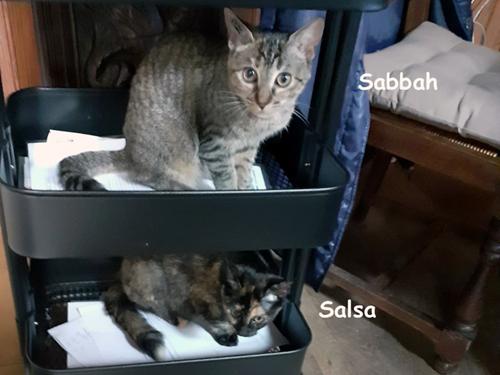 Salsa-sabbah-chatons-femelles-adoption-paris
