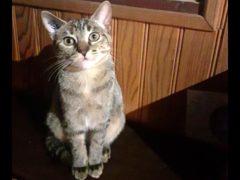 SALSA, chaton Femelle tigrée à l'adoption Paris
