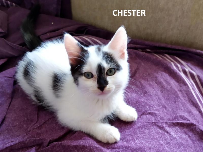 CHESTER-chaton-noir-et-blanc-adopter-paris-association