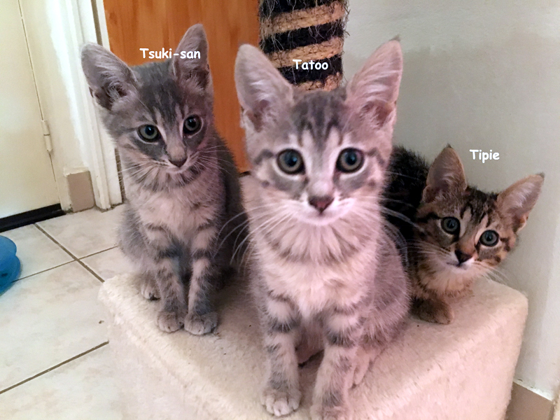 trio-chatons-tigres-adoption-paris