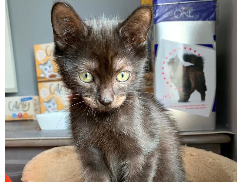 ROMY-chaton-noire-a-adopter-paris