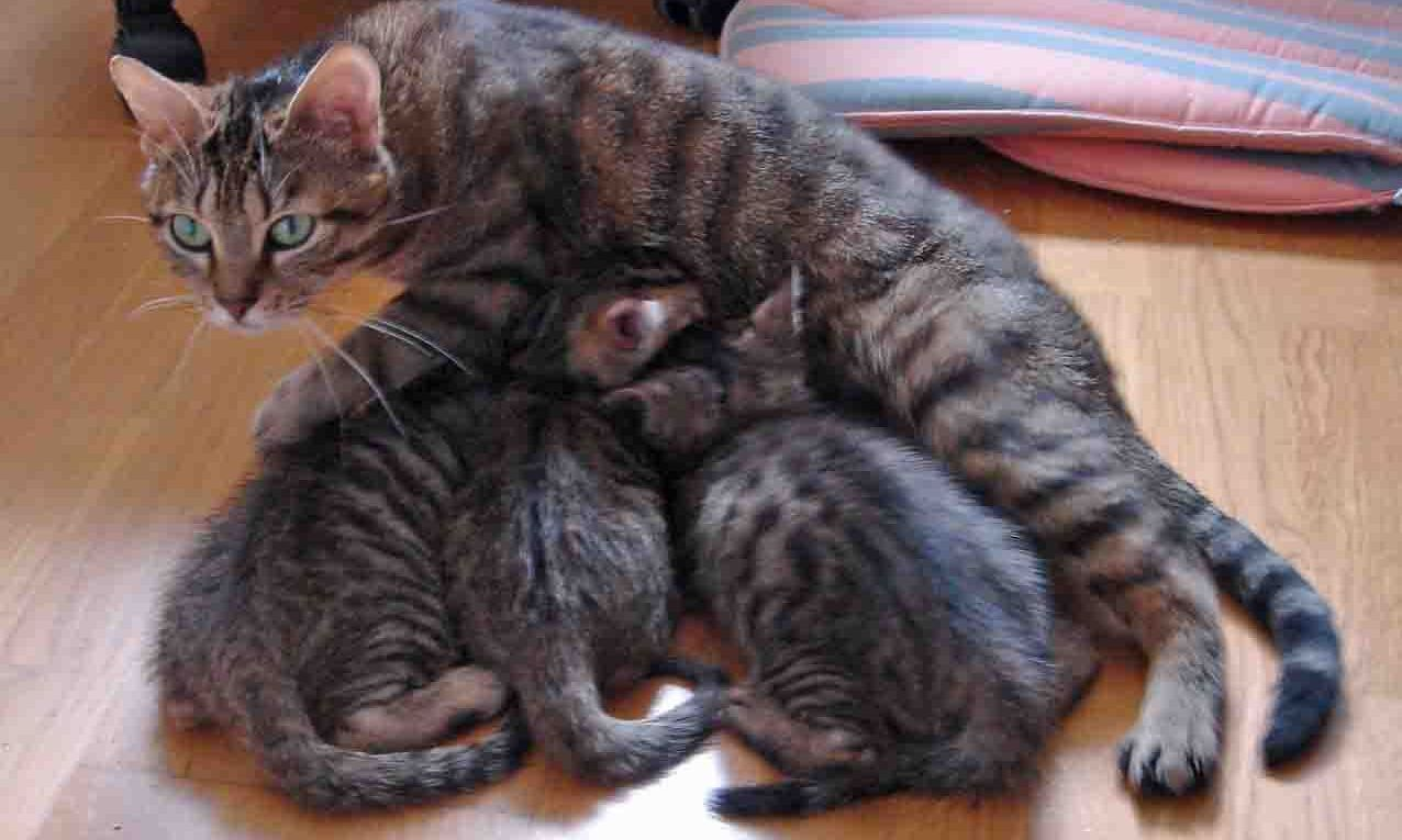 maman-et-chatons-allaitement