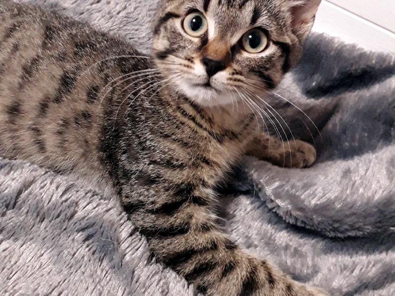 REBEL-chaton-tigre-a-adopter