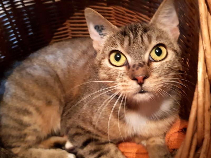 VOYELLE-chat-tigree-adoption-paris