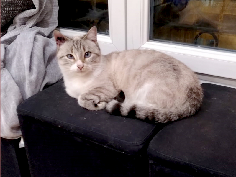 NOUKI-chat-siamoise-FIV-adoption-paris