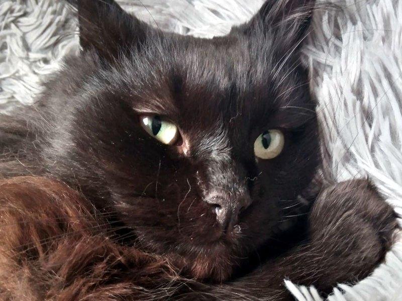 SAUVAGE-chat-noir-poil-long-adoption-paris