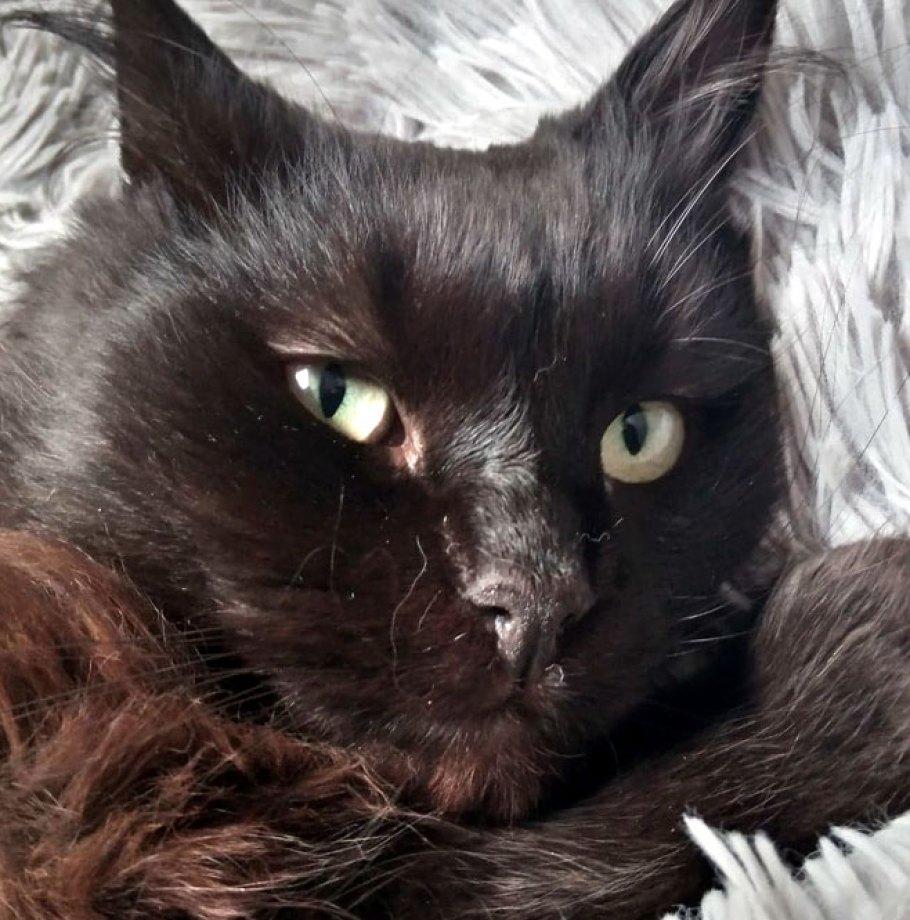 Adoption confirmée pour SAUVAGE Superbe Chat Noir poil long adopté à 2 ans