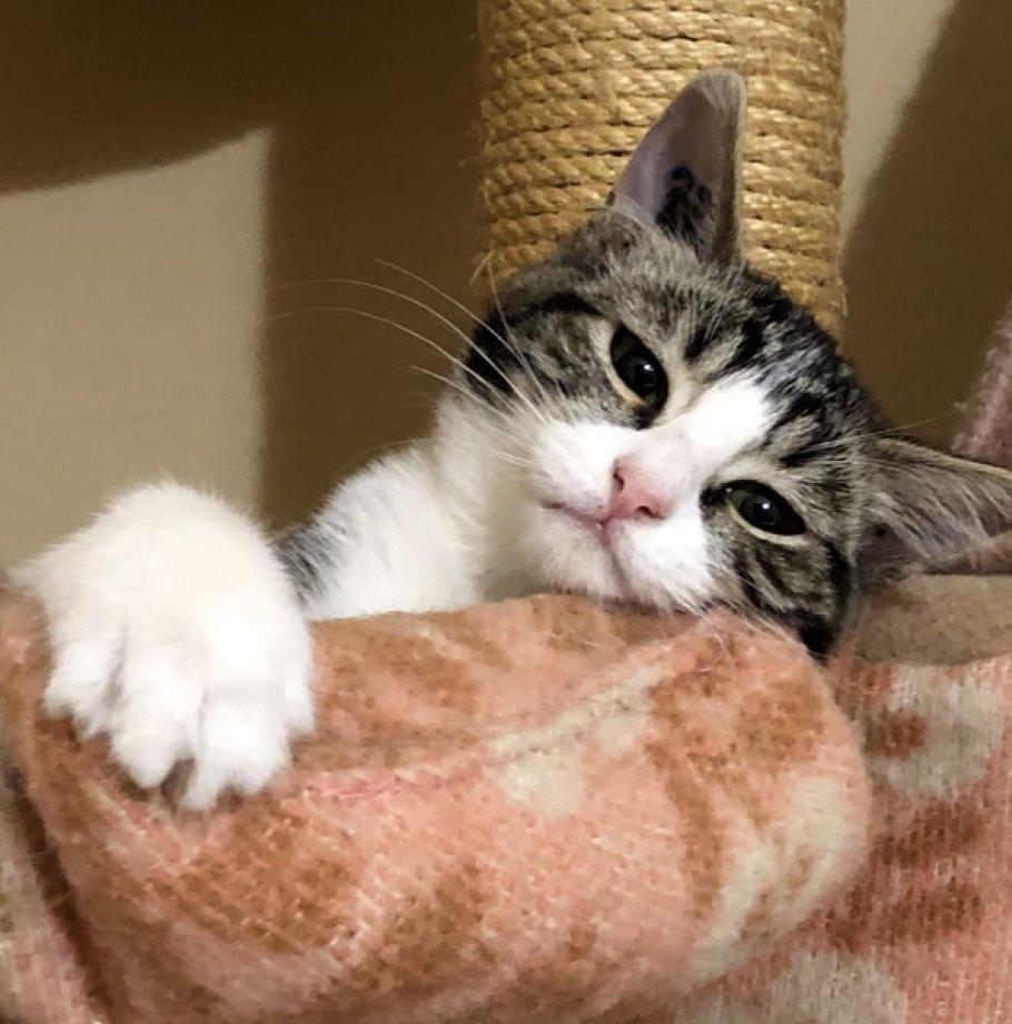 Adoption en cours pour TAGADA, Chat Femelle Tigrée blanche câline 5 mois