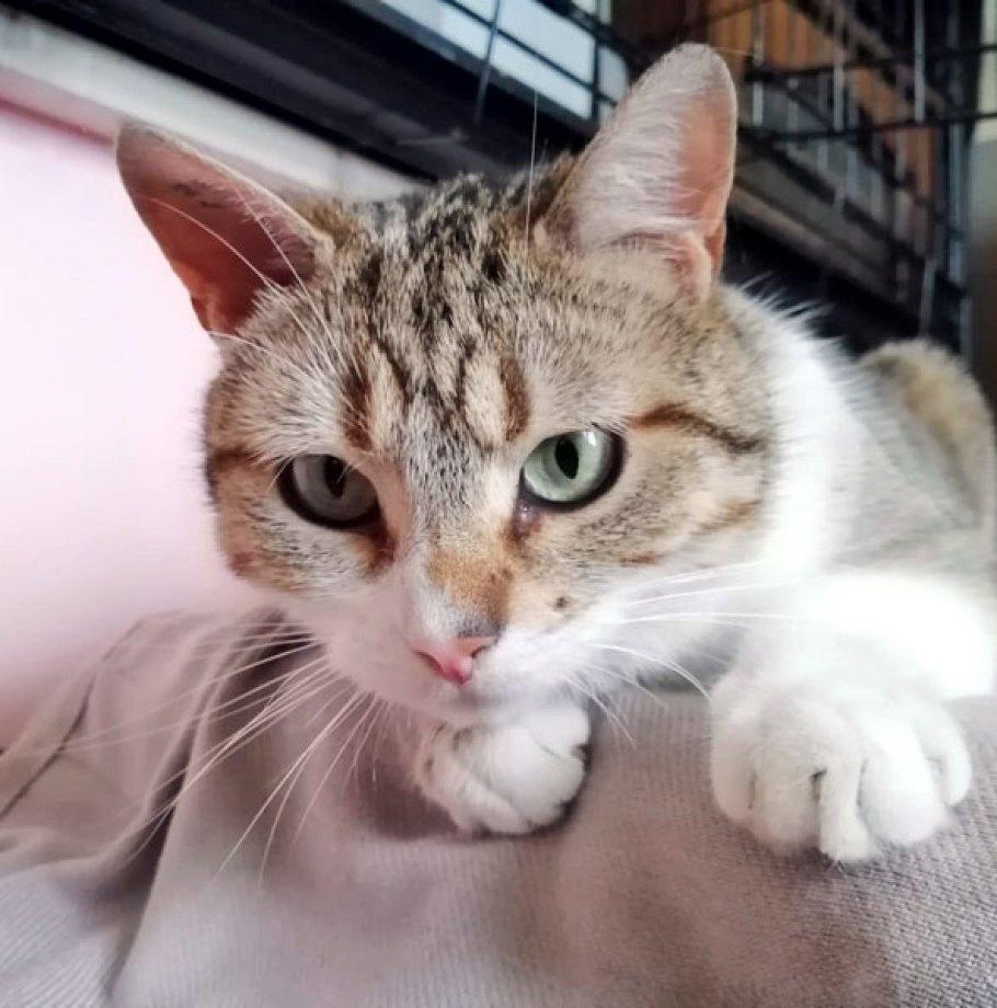 Adoption en cours pour SANDY Chat Femelle Tigrée et Blanche