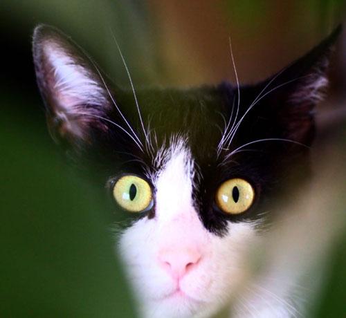 Chaussette chat noir et blanc 2 ans gentil et calin à adopter avec notre association