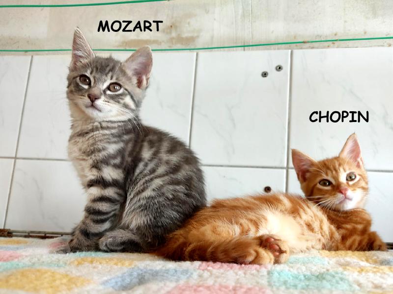 MOZART-ET-CHOPIN-chatons-adoption-paris