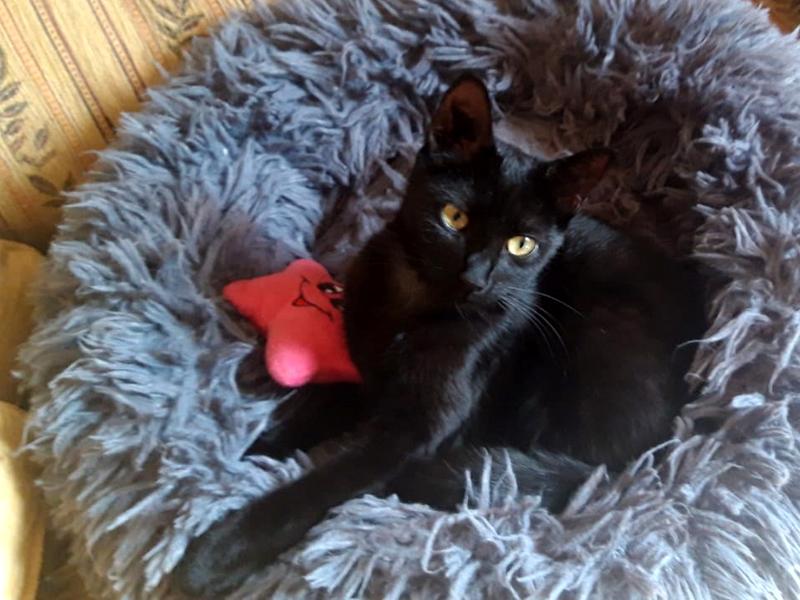 Chaton noire à adopter, MYA  est un amour, trouvée abandonnée et en SOS