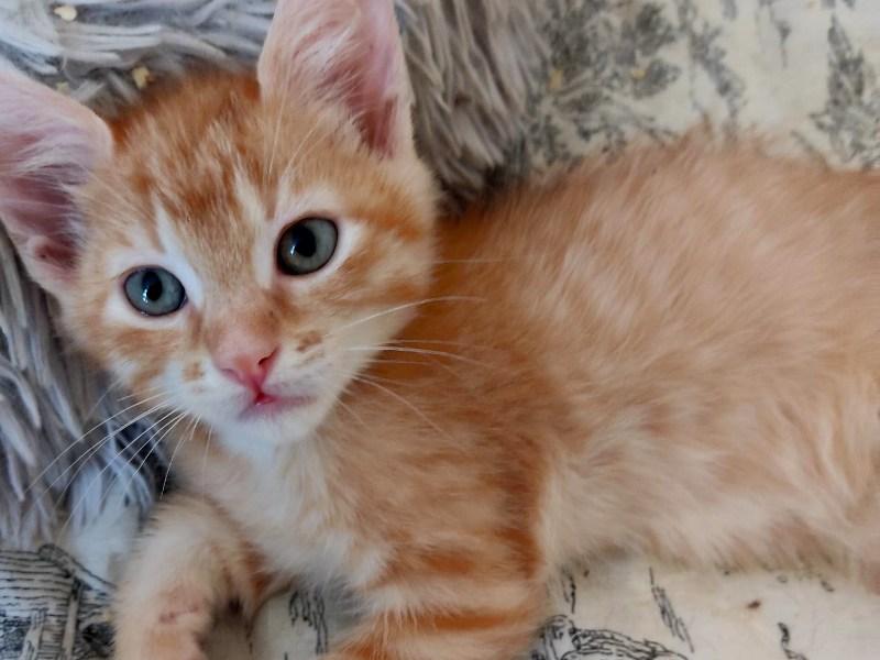 Chaton à l'adoption, ROUKY est un magnifique chat Tigré Roux de 2 Mois 1/2