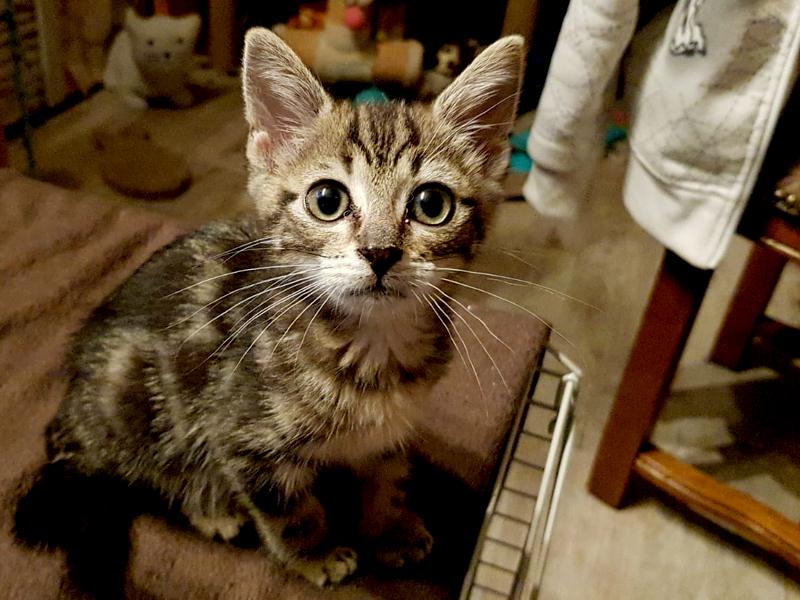 """Chaton à l'adoption WILLOW, tigrée """"marbrée"""" 3 Mois, chaton survivante, trop craquante !!"""