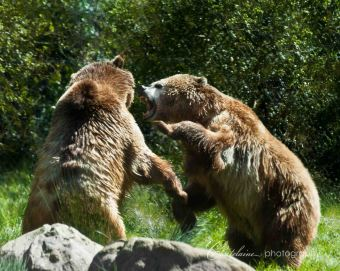 Grizzly fight