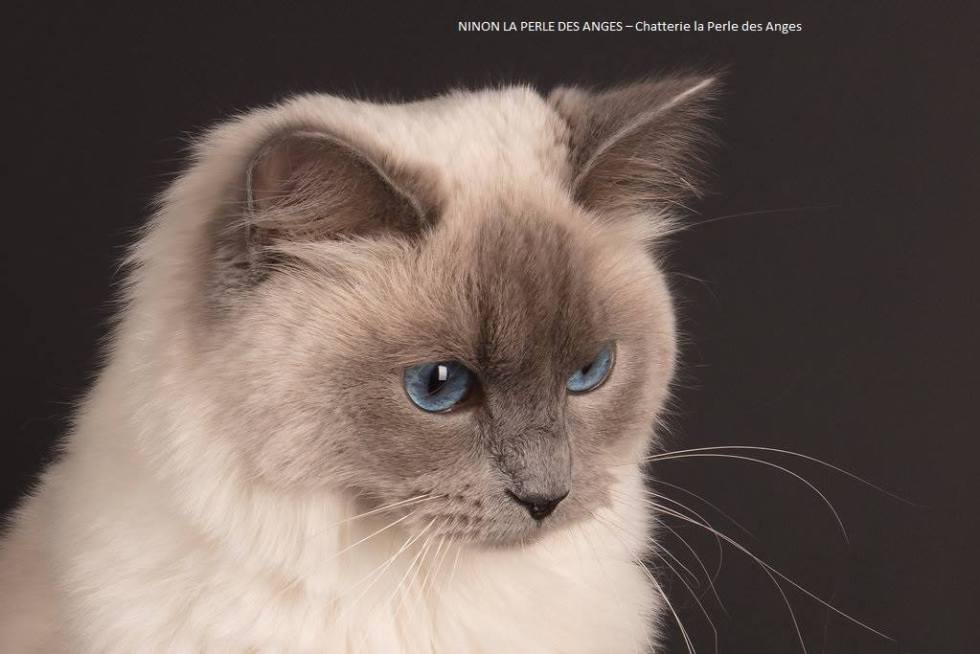 chaton a adopter chatterie la perle des anges ragdoll normandie caen calvados 5