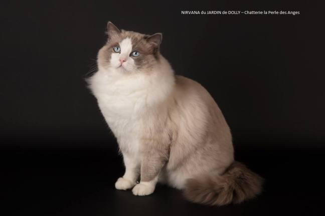 chaton a adopter chatterie la perle des anges ragdoll normandie caen calvados 6