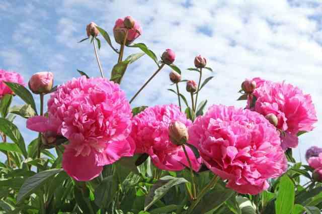 pivoine rose chaudet paysagiste rennes