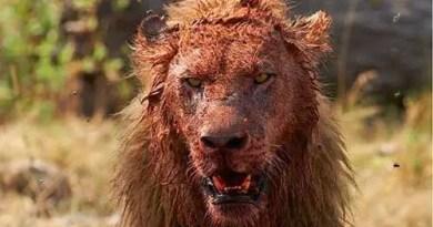 Um caçador ilegal foi devorado pelos leões que estava caçando...