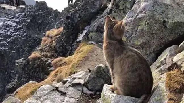 No entanto, o gato mudou sua atitude e se aproximou de Jabczynski assim que pegou um pedaço de queijo de sua mochila, relata o Daily Mail. Quando se pergunta como o gato veio parar naquele lugar, Jabczynski disse que não tinha certeza, mas supôs que poderia ter vindo de uma cabine de turistas no lado eslovaco da montanha. Alguns usuários estavam preocupados com o destino do gato, enquanto outros o comparavam a um cabrito montês. O que podemos dizer é que os gatos são animais tão surpreendentes quanto imprevisíveis, mais uma vez demonstraram isso.