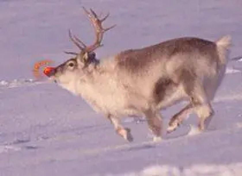 nariz vermelho de Rudolf