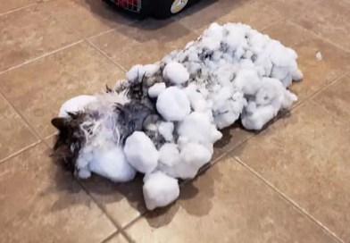 Uma gata foi encontrada, no Estado de Montana, nos EUA, coberta de neve e com o pelo congelado