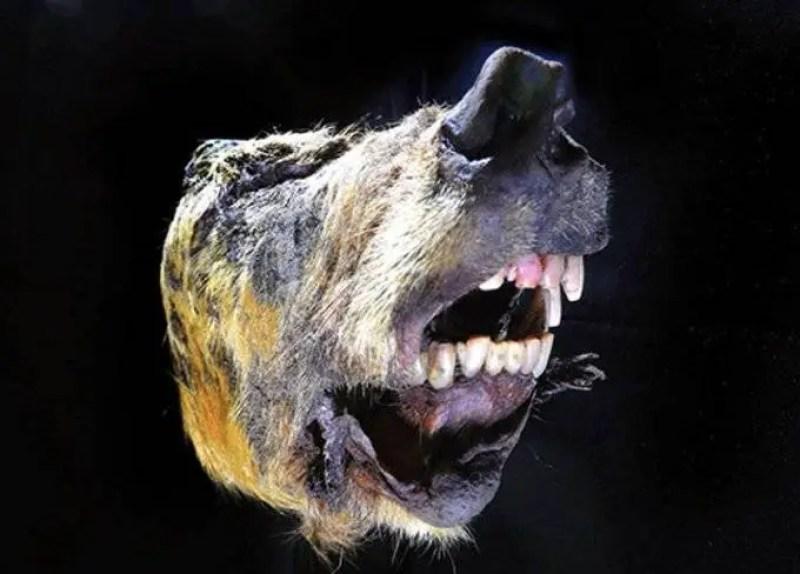 cabeça de um lobo gigante encontrada na Sibéria
