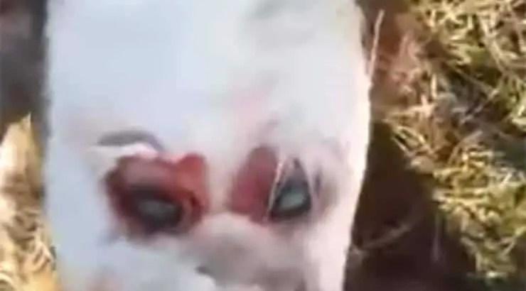 nasce na Argentina um bezerro mutante com 'rosto humano'